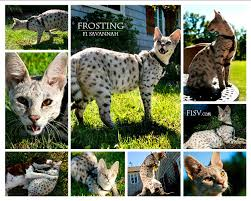 Collage of Serval Cats
