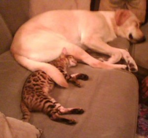 Serval Cat Sleeping With Dog