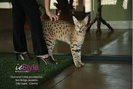 Standing Serval Cat beside owner's legs