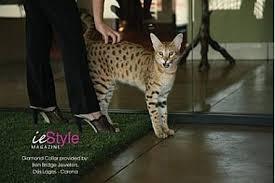 Standing Serval Cat beside owner's legs
